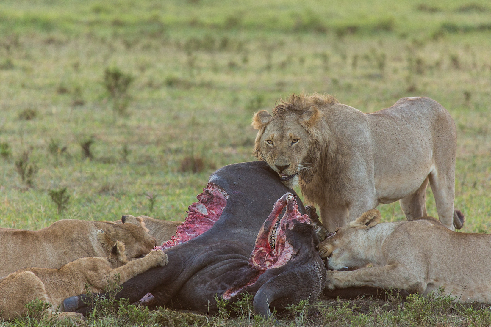 Buffalo versus lion