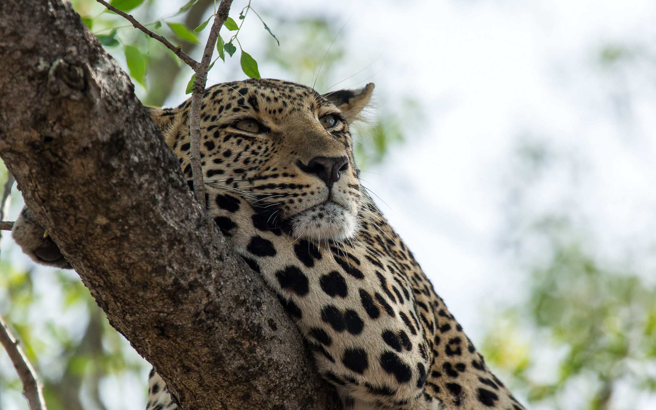 leopard in sabi sands