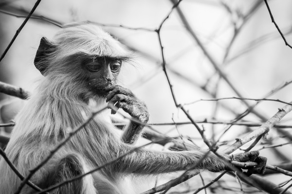 common langur Monochrome